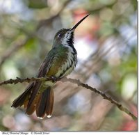 Black-throated Mango - Anthracothorax nigricollis