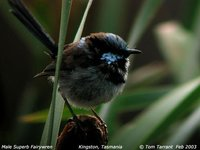 Superb Fairywren - Malurus cyaneus