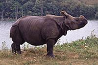 Female Indian rhino