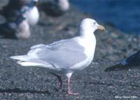 Glaucous Gull adult at Modesto STP © Eric Caine