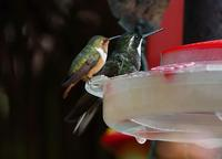 Smaller than small, Scintillant Hummingbird and Gray-tailed Mountain-gem
