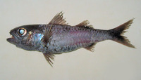 Synagrops japonicus, Japanese splitfin: fisheries