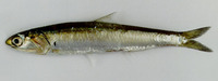 Encrasicholina heteroloba, Shorthead anchovy: fisheries, bait