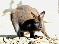 Image of: Macropus rufogriseus (red-necked wallaby)
