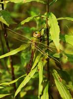 Image of: Anax junius (green darner)