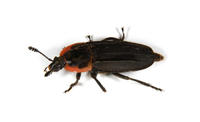 Image of: Silphidae (carrion beetles)