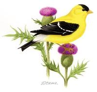 Image of: Carduelis tristis (American goldfinch)