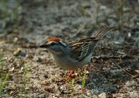 Image of: Spizella passerina (chipping sparrow)