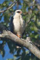 Black-faced Hawk - Leucopternis melanops