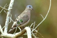 Emerald-spotted Wood-Dove - Turtur chalcospilos