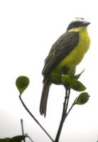 Yellow-throated Flycatcher (White-ringed flycatcher)