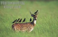 Deer Stag : Mynas Perched atop a Chital ( Spotted Deer Stag , Corbett Park , India stock photo