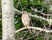 : Buteo platypterus; Broad-winged Hawk