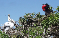 ...: Fregata minor palmerstoni ; sula sula rubripes; Great Frigatebird Male And Red Footed