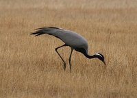 Demoiselle Crane (Beth Symonds)
