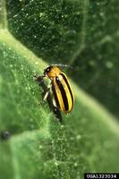 Acalymma vittata - Striped Cucumber Beetle