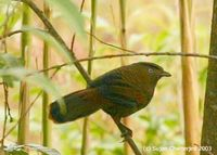Blue-winged Laughingthrush - Garrulax squamatus