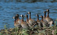 White-faced Whistling-Duck (Dendrocygna viduata) photo