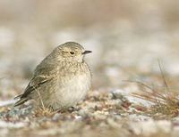 Short-billed Miner (Geositta antarctica) photo