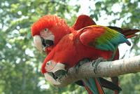 Green Winged Macaws