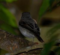 Asian Brown Flycatcher 2