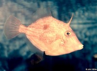 : Paramonacanthus japonicus; Japanese Filefish