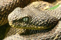 : Atheris desaixi; Mt. Kenya Bush Viper