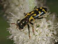 : Trichodes ornatus; Ornate Checkered Beetle