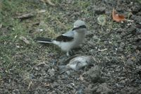 ...Photo of a Northern Shrike with dead bird, taken by Joe Gregg.  The bird was located in the Orch