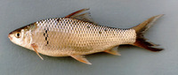 Cirrhinus chinensis, Chinese mud carp: fisheries, aquaculture