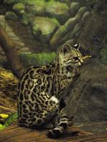 Image of: Leopardus wiedii (margay)