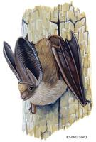 Image of: Plecotus auritus (brown big-eared bat)