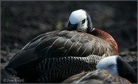 Dendrocygna viduata - White-faced Whistling-Duck
