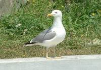 Larus michahellis - Western Yellow-legged Herring Gull