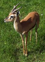 Gazella rufifrons - Red-fronted Gazelle