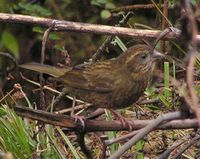 Dark-rumped Rosefinch - Carpodacus edwardsii