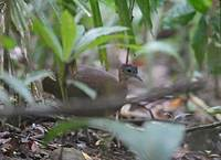 Great Tinamou (Tinamus major) photo