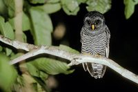 Black-banded Owl (Strix bubula) photo