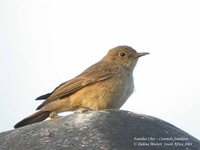 Familiar Chat - Cercomela familiaris