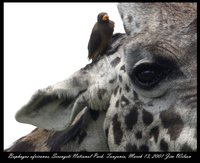 Yellow-billed Oxpecker - Buphagus africanus