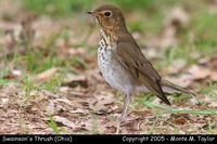 Swainson's Thrush - Ohio