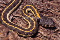 : Thamnophis cyrtopsis