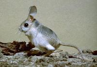 Image of: Allactaga elater (small five-toed jerboa)