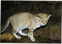 Image of: Felis margarita (sand cat)