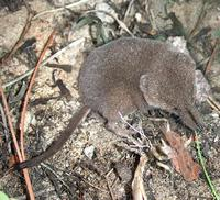 Image of: Sorex arcticus (Arctic shrew)
