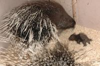 Hystrix indica - Indian Crested Porcupine