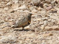 Lichtenstein's Sandgrouse - Pterocles lichtensteinii