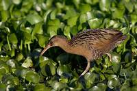 King Rail (Rallus elegans) photo