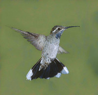 Blue-throated Hummingbird (Lampornis clemenciae) photo