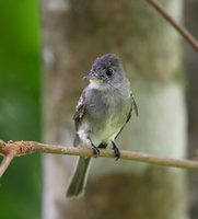 Tropical Pewee (Contopus cinereus) photo